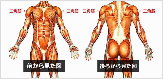 三角筋の筋肉図
